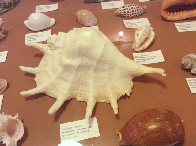 One of the displays in the Seashell Society's exhibition at Fort Frederik. (Photo provided by Sharon Grimes)