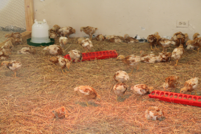 Chicks make themselves at home in their enclosure at Arthur A Richards Jr. High School. (Photo submitted by Velma Jendricks)