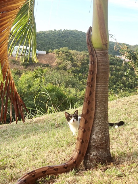 St  Croix No Longer Snake Free | St  Croix Source
