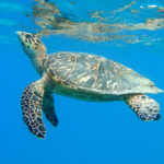 Hawksbill turtle surfaces. (Photo by Caroline Rogers)