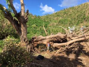 A damaged tamarind tree.
