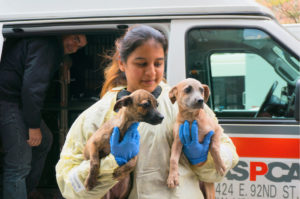 1. A group of homeless dogs from St. Croix arrive at the ASPCA Adoption Center in NYC. (ASPCA photo)