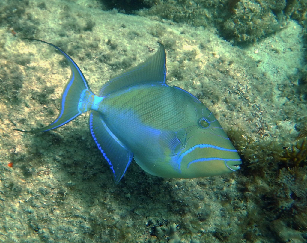 A queen triggerfish in Rendezvous Bay. (Photo by Caroline Rogers)