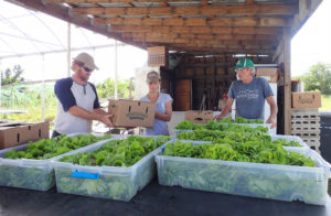 Nate and Shelli Olive and Brian McCullough pack fresh lettuce for the Farm to School lunch program.