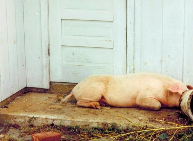 Pig that lost its way in Hurricane Marilyn