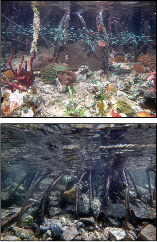 ABOVE: Healthy mangrove roots in Hurricane Hole. BELOW: After the twin hurricanes, the trees are struggling to survive. (Photos by Caroline Rogers)