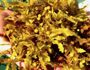 Sargassum fluitans.