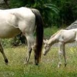 Ag Committee OKs Bill Seeking to Define Horses as Livestock