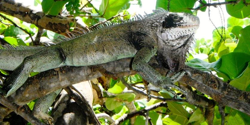 Idle the Iguana (File photo)