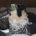 This breeding peregrine falcon was found wounded by a pellet gun on St. Croix. (Photo provided by SCAWC)