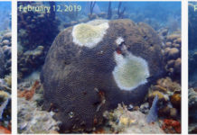 White patches on a brain coral at Black Point illustrate the rapid spread of the destructive SCTLD attacking reefs in V.I. waters. (Photo by Sonora Meiling)