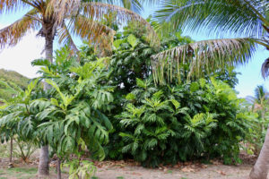 It takes at least three years for a breadfruit tree to begin to bear fruit. This large tree, flanked by a smaller one and palms, is more than ready. (Linda Morland photo)