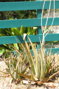 Aloe plants require far less water than crops, but nevertheless are losing the drought battle. (sap photo)