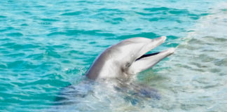Lika, one of four Atlantic Bottlenosed dolphins who took up residence in Coral Bay in February, flashes his million dollar smile. (sap photo)