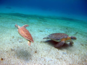 Before the 2017 hurricanes, two green sea turtles swim in Turtle Cove off Buck Island, St Thomas. (Photo by Paul Jobsis)