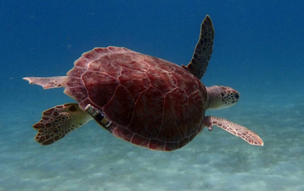 A green sea turtle with acoustic tag swims in Brewers Bay. (Photo by John Cassell)