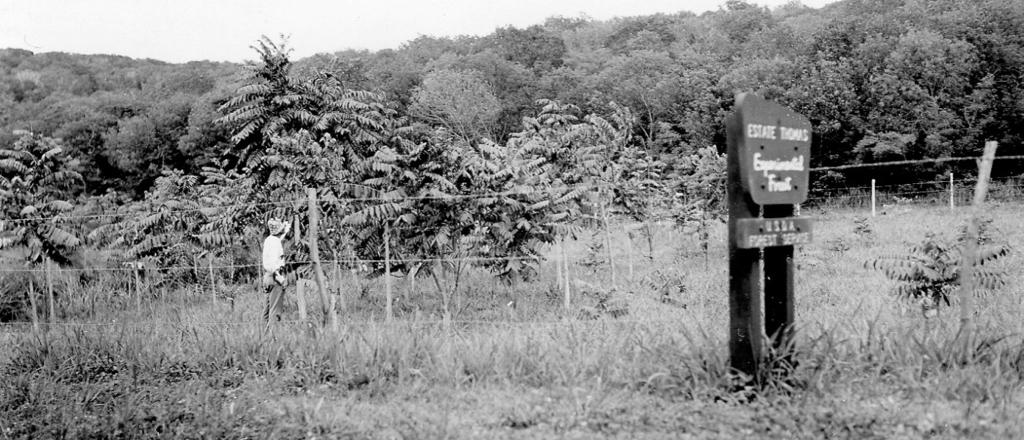 This St. Croix historical photo, date unknown, shows Fated Teak on shallow soil in Estate Thomas. (Photo provided by USDA)