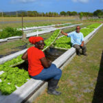 Aquaponically grown lettuce is harvested at UVI. (UVI photo)