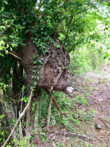 Arboreal termites are critical to healthy forests. (Source photo by Amy Roberts)