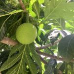 Interest is Growing in Commercial Use of V.I. Breadfruit