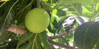 A mature breadfruit is near ready for picking. (Source photo by Kelsey Nowakowski)