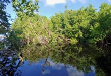 A healthy mangrove lagoon at Magens Bay, a protected nature preserve. (S. Pennington photo)