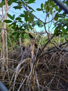 Mangled mangroves on St. Thomas's north side. (S. Pennington photo)