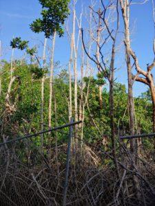 Hurricane damaged mangroves struggle to survive in Hull Bay. (S. Pennington photo)