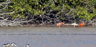 Three Scarlet Ibis were spotted during the Christmas Bird Count on Southgate Pond. (Photo by Toni Lance)