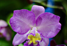 "Phalaennopis or ""Moth Orchids"" are found in a wide variety of sizes and colors. Popular for decorating, these grow well on St. Croix. This close up shows the wonderful colors and delicacy of a single bloom. (Source photo by Linda Morland)"