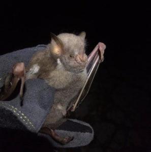 Researchers wear protective gloves when handling bats. (Photo by Renata Platenberg)