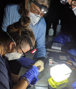 V.I. wildlife researchers Steve Matthews and Kitty Edwards measure a bat trapped on St. Thomas. This type of research has been curtailed this year by the COVID-19 pandemic. (Photo by Renata Platenberg)