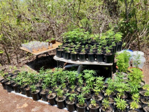 Seized marijuana plants came in all sizes at Wednesday's raid. (VIPD photo)